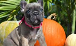 ghfhhgh French Bulldog puppies