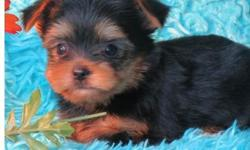 ghjj Full breed yorkie pups available