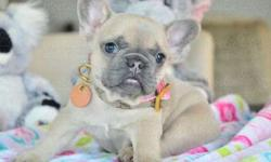 Gifted Girls and Boys French Bulldog Puppies
