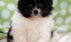 Glorified Teacup Pomeranian Pups For Sale