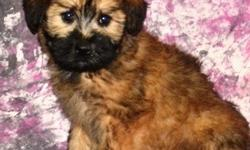gnjgfdgfds Soft Coated Wheaten Terrier Puppies For Sale