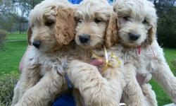 Golden Doodle Puppies expected