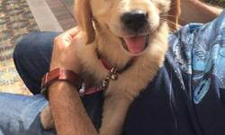 Golden Retriever AKC puppy