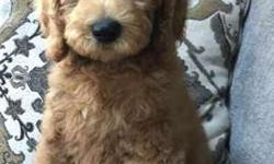 Goldendoodle F1B Male and female