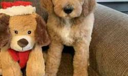 Goldendoodle F1B males and females