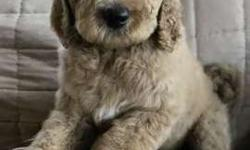 Goldendoodle male and female f1b