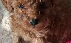 Goldendoodle Toy Puppies
