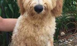 Goldendoodles - Great with Kids, Hypoallergenic No Shed
