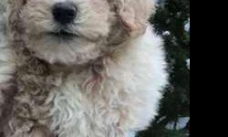 Goldendoodles - Small/Toy-Size, Great Temperament,