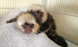 Golksgs Baby Pygmy Marmoset Monkeys Available