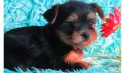 .Goodie Full breed yorkie pups available
