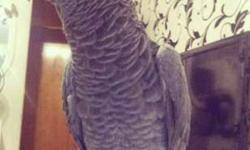 GOOG Congo African Grey Parrots For New Home