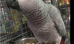 Goood Congo African Grey Parrots For New Home