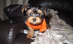 Gorgeous AKC Yorkie Puppies Available