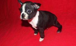 Gorgeous Boston Terrier female for sale