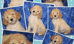 Gorgeous ckc registered f1b male labradoodle puppy
