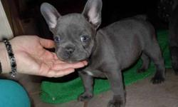 Gorgeous French Bulldog Puppies Available Now