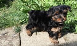 Gorgeous Home raised Yorkie Puppies