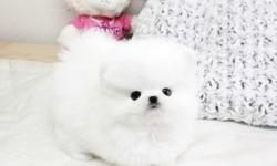 Gorgeous male and female Pomeranian Pups