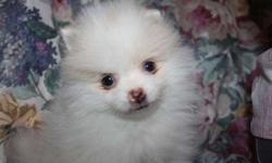 Gorgeous Male Pomeranian Puppies