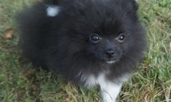 Gorgeous & sweet little AKC male pomeranian puppy