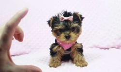 Gorgeous Teacup & Toy Yorkie Puppies Available in Las Vegas