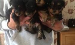 Gorgeous Tiny Yorkie Puppies for Rehoming