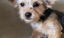Gorgeous Toy Yorkie Puppy! female microchipped