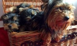 Gorgeous Yorkshire Terrier Pups For Sale Teacups male and