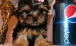 Gorguous Male and Female Teacup Yorkie Puppies
