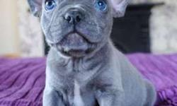 Graceful Blue French Bulldog Puppies