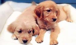 Graceful Healthy Male and Golden Retriever Puppies Ready
