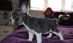 great Mico Blue French Bulldog Puppies