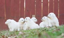 Great Pyrenees Livestock Guardian Dogs