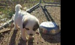Great Pyrenees Puppies....Just in time for Christmas