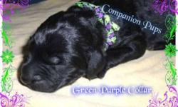 Green and Purple Collar ~ Black Labradoodle ~ See Video