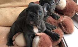 Grey Blue French Bulldog Puppies