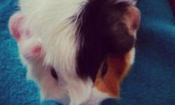 Guinea pig for sale! Please i need to rehome him