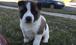 hagrehd Healthy Japanese Akita Puppies For Sale
