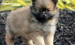 Happy Brown Teacup Pomeranian Pups For Sale