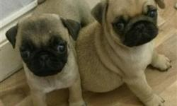 Harbenger Denisto Pug Adorable Puppies