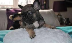 Hardy French Bulldog Puppies Available Now
