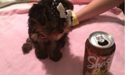 harming Teacup Yorkie puppies TEXT 662/2.68/90.57