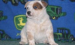 hbgfcdfsd Australian Cattle Dog Puppies For Sale
