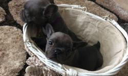HBJKBBK Blue French Bulldog Puppies Ready Now