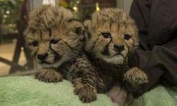 hdhsd Cheetah Cubs for sale jdjdggs