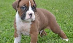Healthy Boxer puppies for sale