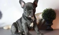 Heartening Blue French Bulldog Puppies Available