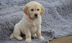 Heartening Golden Retriever Puppies Available