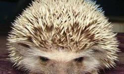 Hedgehog Hedge hogs Males Females